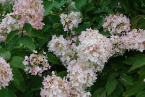 Hortenzie druhy