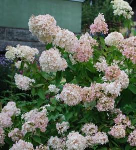 Hortenzie latnatá pěstování