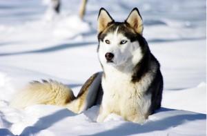 sibirsky husky