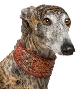 greyhound zihany