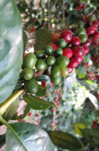 Kávovník rostlina
