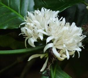 kvetouci kavovnik