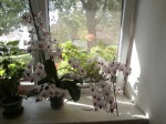 orchidej se 100 kvety