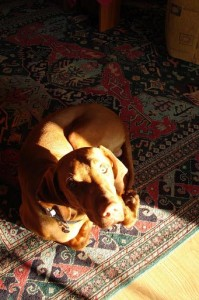 pes na koberci
