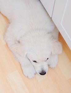 pes plovouci podlaha