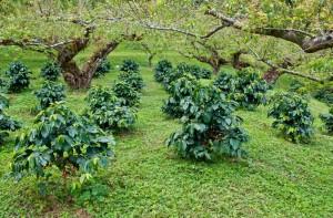 pestovani kavy