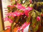 desetilety kaktus