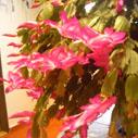 desetilety kaktus nahled