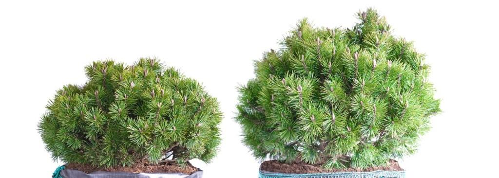 jehlicnan borovice