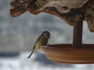 ptacek na budce