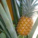ananas plod nahled