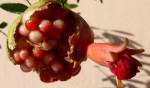 granatove jablko