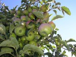 jablka v trsech