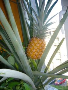 pestovani ananasu