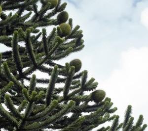 araucaria blahocet strom