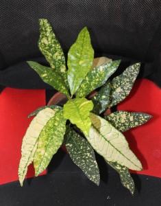 kroton pokojova rostlina