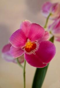miltoniopsis kvet