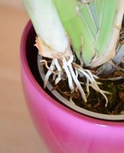 vzdusne koreny miltoniopsis