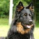 chodsky pes nahled
