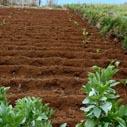 brambory plevel nahled