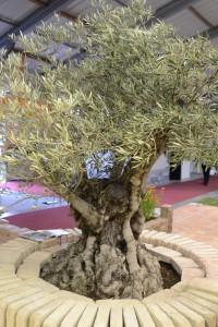olivovnik strom