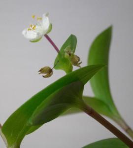 vodenka kvet