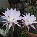rozkvetle kaktusy nahled