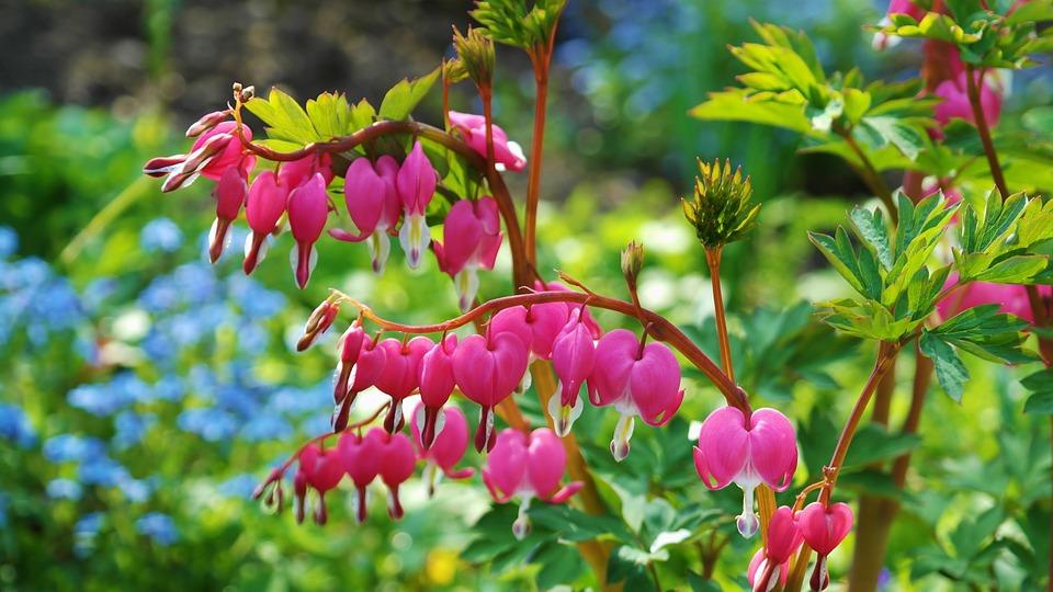 srdcovka rostlina