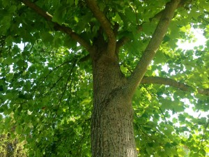 liliovnik strom