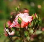 nemecka ruzenemecka ruze