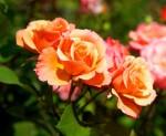 oranzove ruze
