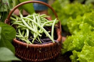zelene fazole pestovani