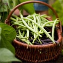 zelene fazole pestovani nahled