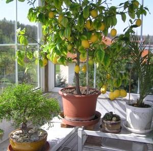 zimni zahrada citronik