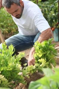 celer pestovani