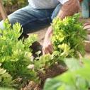 celer pestovani nahled