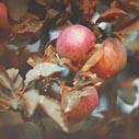 jablka nahled
