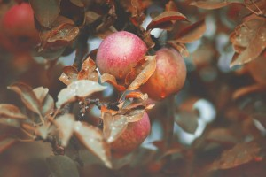 jablka podzim