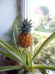pestujeme ananas