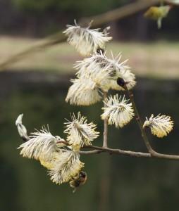 vrba kvetouci