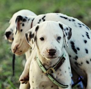 obojek pes