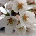 barborka tresen kvety nahled