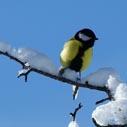 ptak sykora nahled