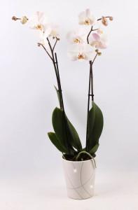 orchideje tesco