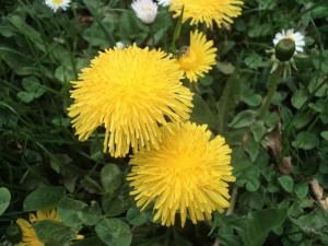 pampeliska kvet