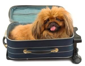 cestovani pes