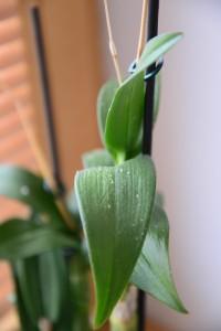 orchidej svilusky