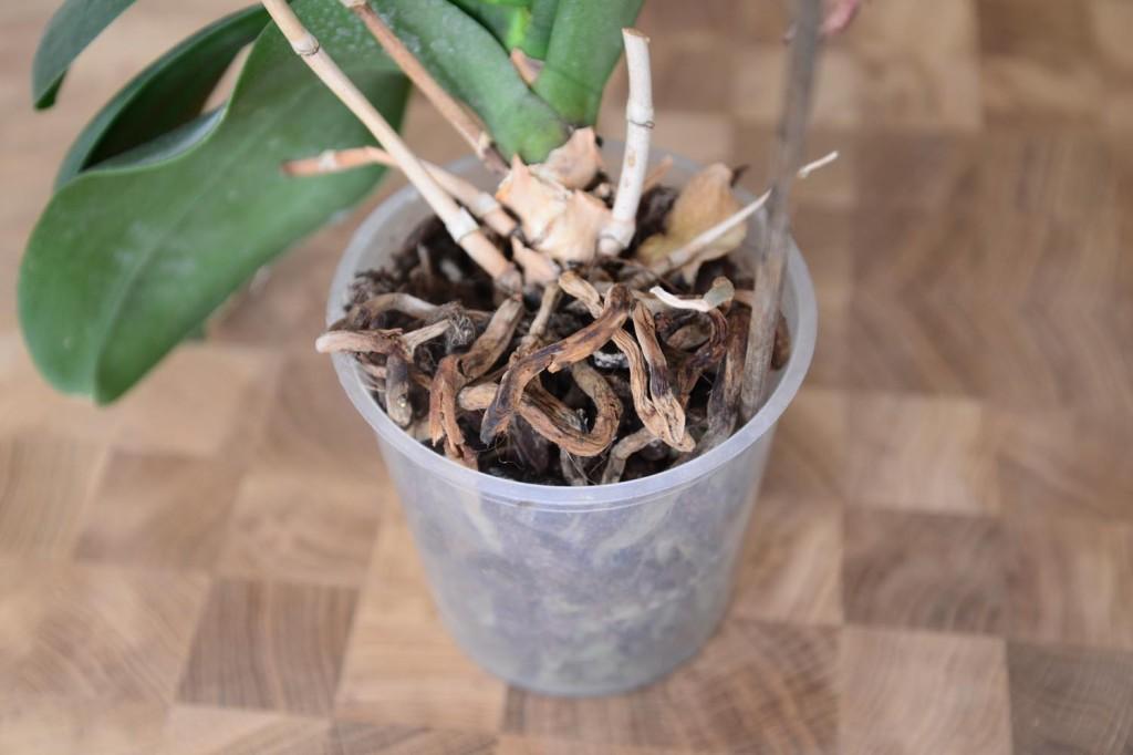 orchidej zahnivani korenu