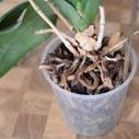 orchidej zahnivani korenu nahled