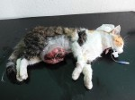 tumor mlecne zlazy u kocky